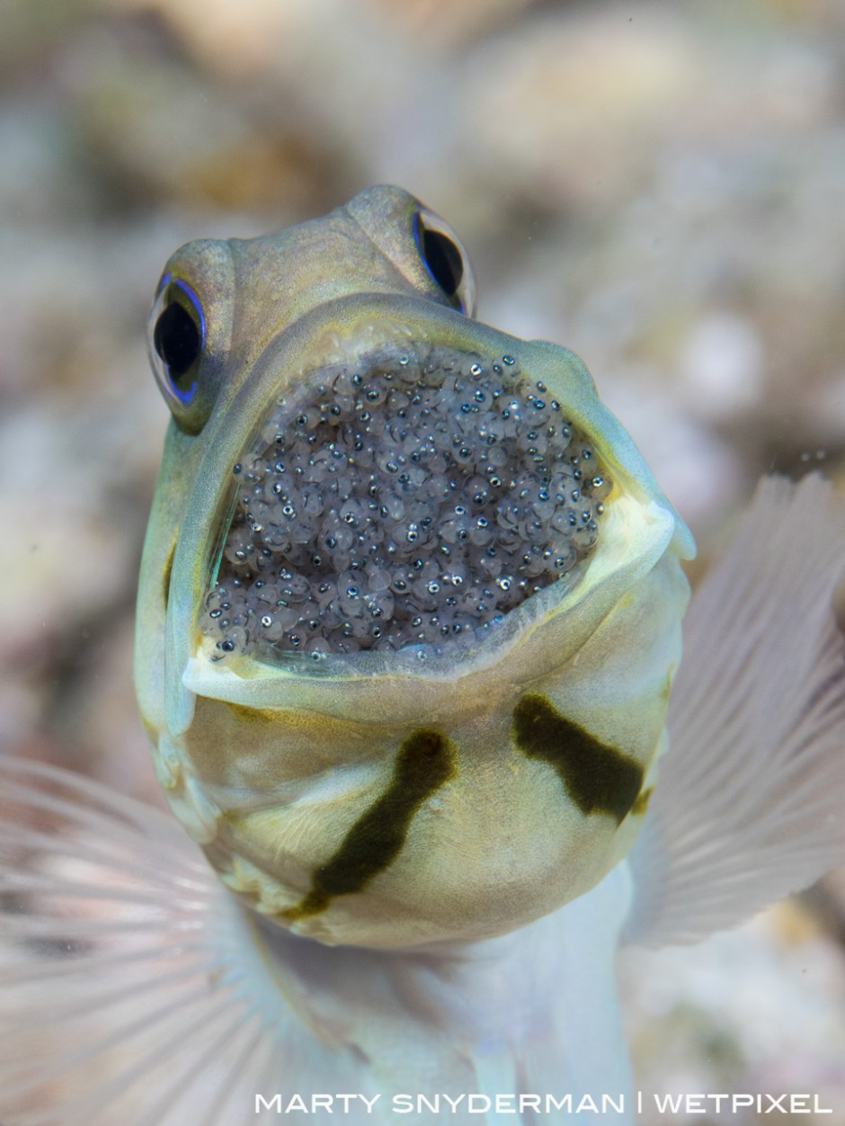 A male yellowhead jawfish with a mouthful of the fertilized eggs from his mate. July in Cozumel where I'd photographed this behavior the year prior.