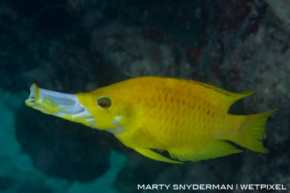 """A slingjaw wrasse, *Epibulus insidiator*, extending its mouth to use it like a straw to """"suck"""" in surprised prey."""