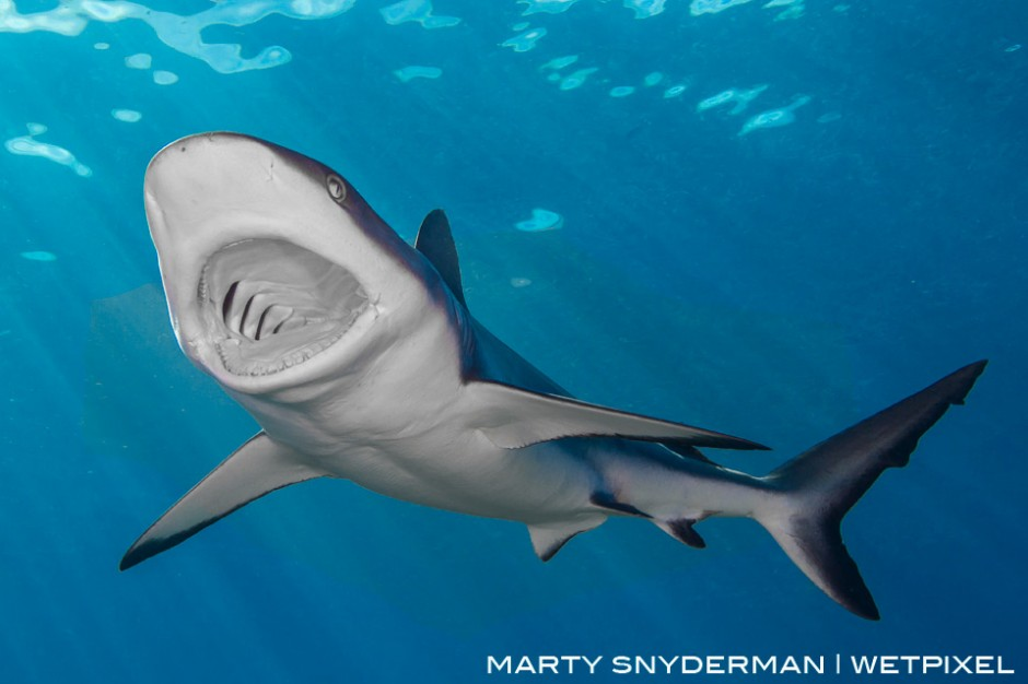 "A ""yawning"" gray reef shark, *Carcharhinus amblyrhynchos*. I captured this moment on a shark dive in Yap"