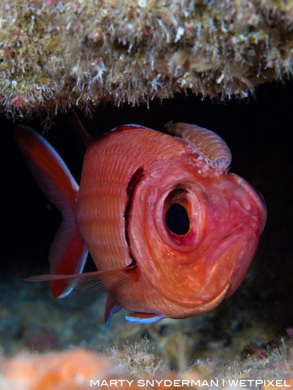 A soldierfish isopod, *Anilocra laticaudata*, sits atop the head of a blackbar soldierfish, *Myripristis jacobus*, in the waters off Sunset House in Grand Cayman