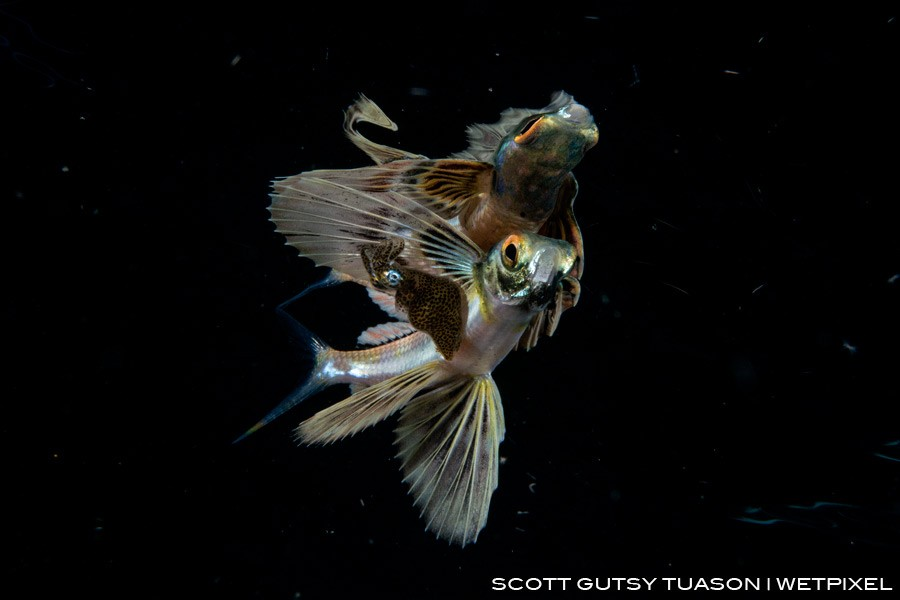 A sub-adult flying fish with a Pygmy squid under its pectoral, a vey usual behaviour still unexplained by science, and most likely the first time to be observed.  Casiguran, Aurora, Philippines