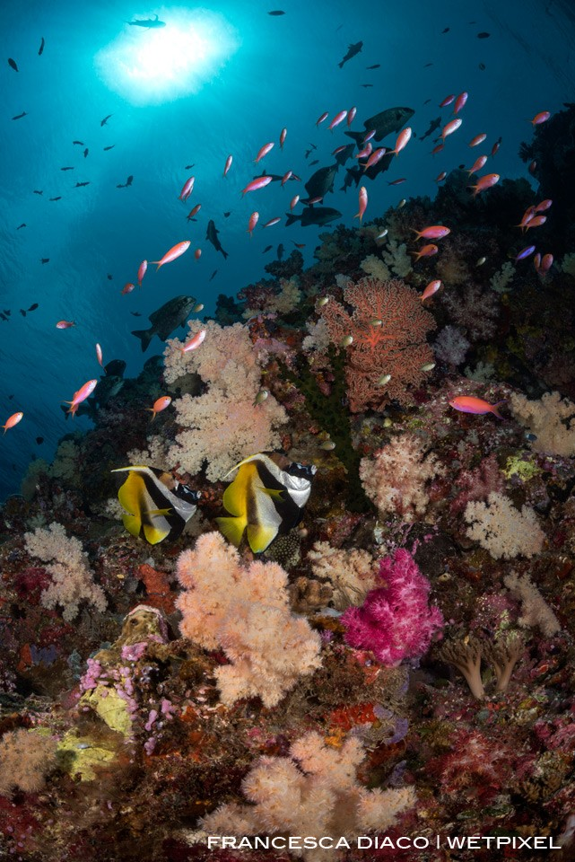 A pair of Masked Bannerfish (*Heniochus monoceros*) cruise the colorful and healthy reef at Turtle Cove.