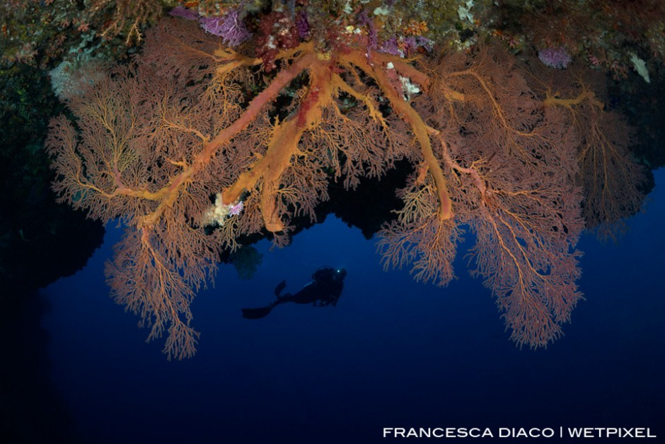 A large gorgonian is the perfect frame for this diver exploring the entrance of Saies Tunnel.