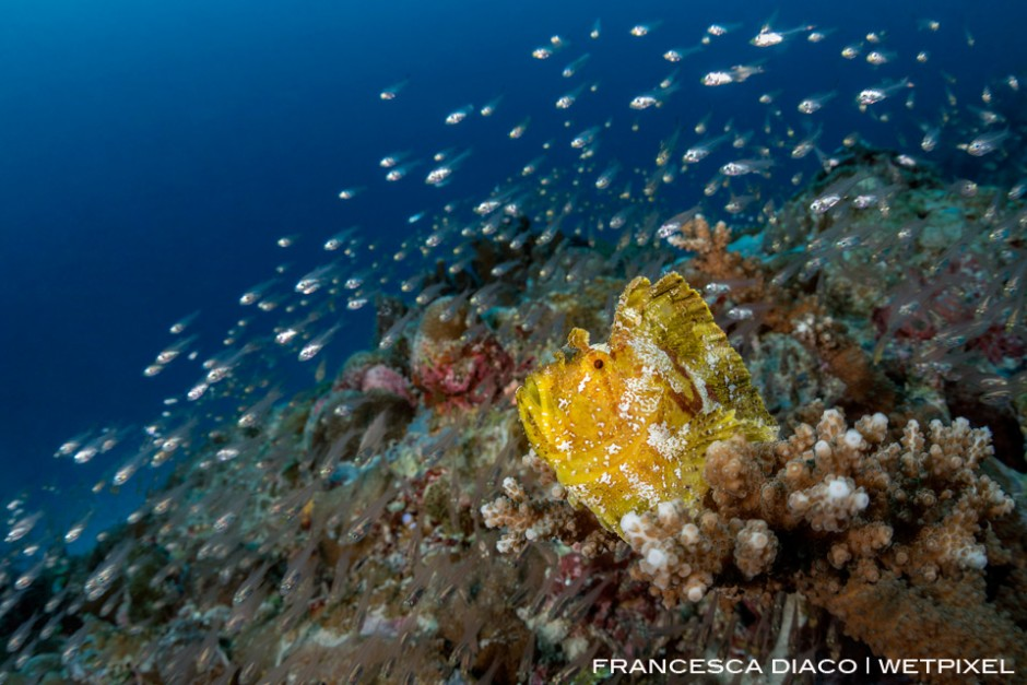 A Leaf Scorpionfish (*Taenianotus triancanthus*) sits on top a bommie surrounded in glassfish at Sandy Paradise.