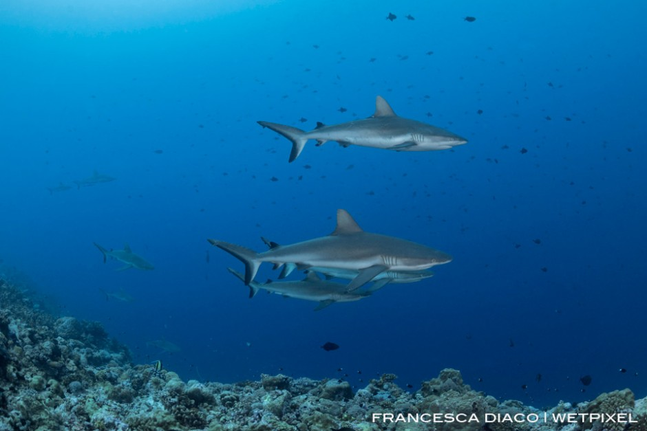 A pack of grey reef sharks (*Carcharhinus amblyrhynchos*) easliy cruise through the strong currents at Blue Corner.