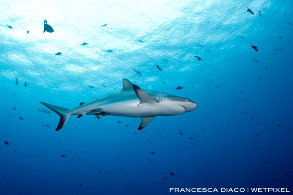 The large population of Grey Reef Sharks (*Carcharhinus amblyrhynchos*) is likely to continue to thrive and grow thanks to the success of the Marine Protected Areas in Palau.