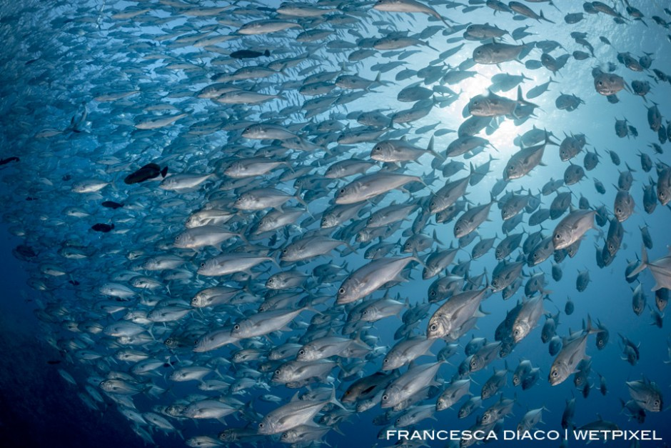 Massive schools of fish, such as this aggreagation of Bigeye Trevally (*Caranx melampygus*) gather at the world famous dive site Blue Corner.