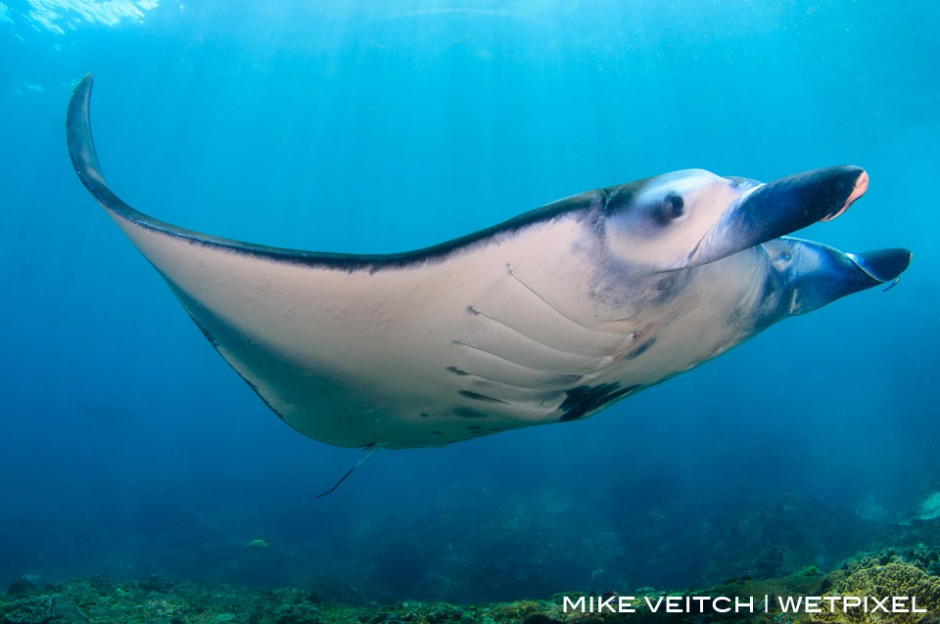A reef manta ray cruises in toward the cleaning station at Manta Point in Bali, Indonesia