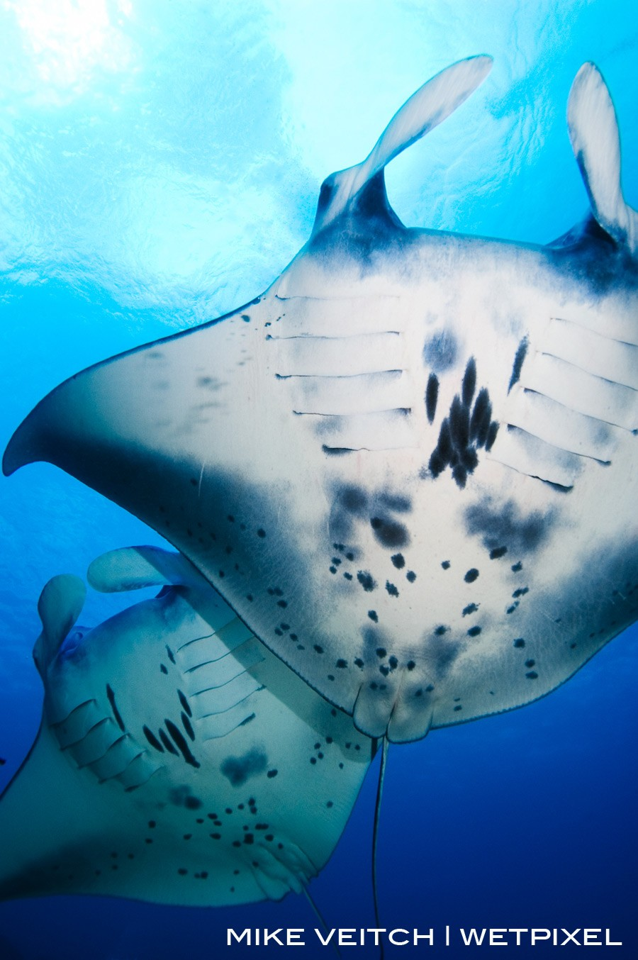 Two Manta Rays in formation, *Manta birostris*, Goofnuw Channel, Valley of the Rays, Yap, Micronesia, Pacific Ocean