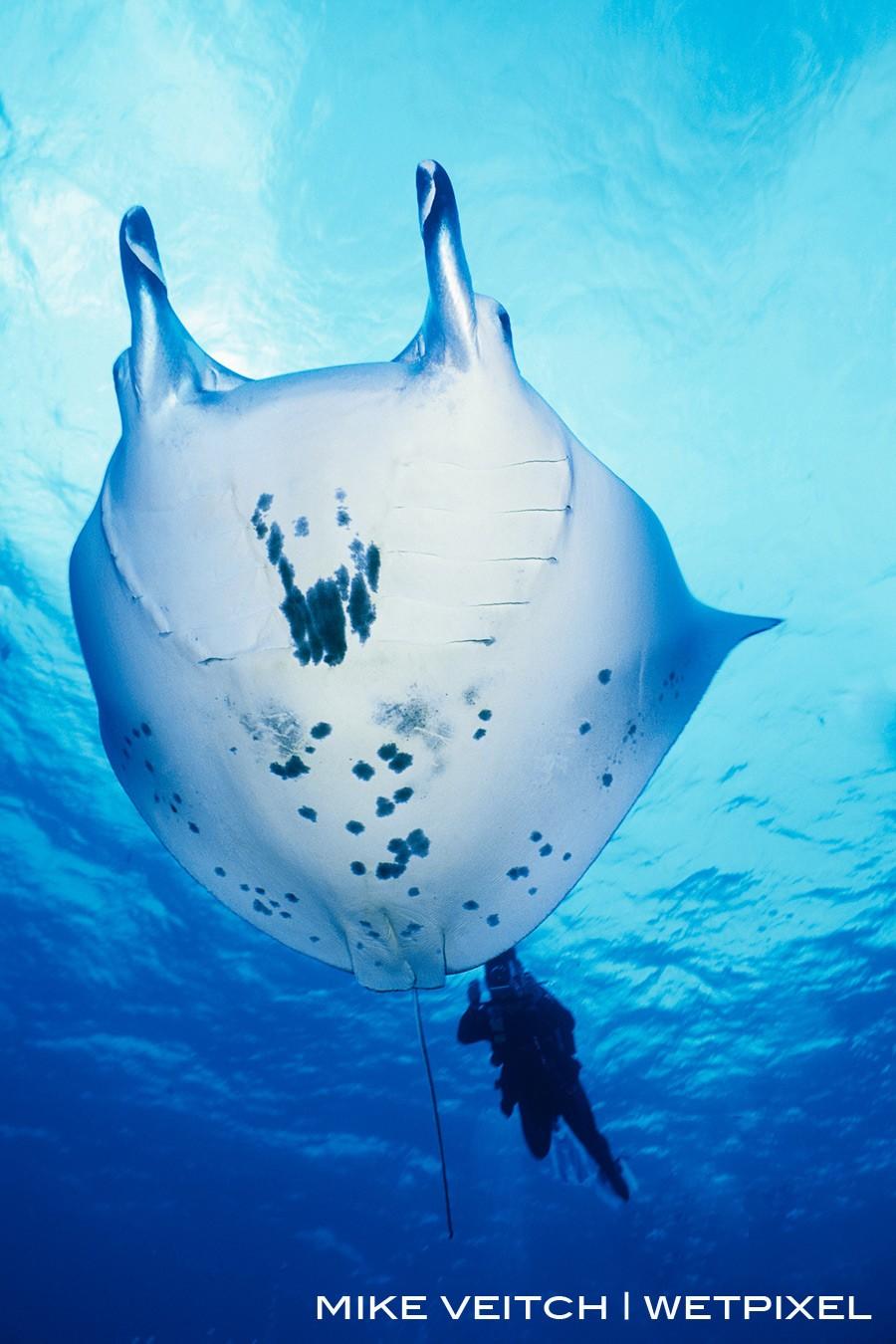 Manta Ray and Diver, Rangiroa, French Polynesia, Pacific Ocean