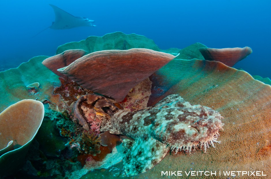 A tassled wobbegong rests on a plate coral in Raja Ampat as a reef manta ray, *Manta alfredi*, cruises past in the background, Raja Ampat, Indonesia