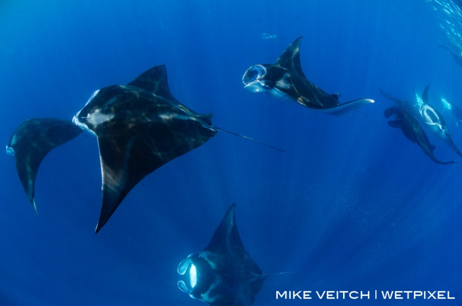 A group of reef manta rays, *Manta alfredi*, feeding at the surface in Raja Ampat, Indonesia