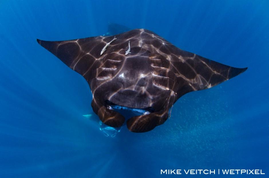 Barrel rolling reef manta ray, *Manta alfredi*, Raja Ampat, Indonesia
