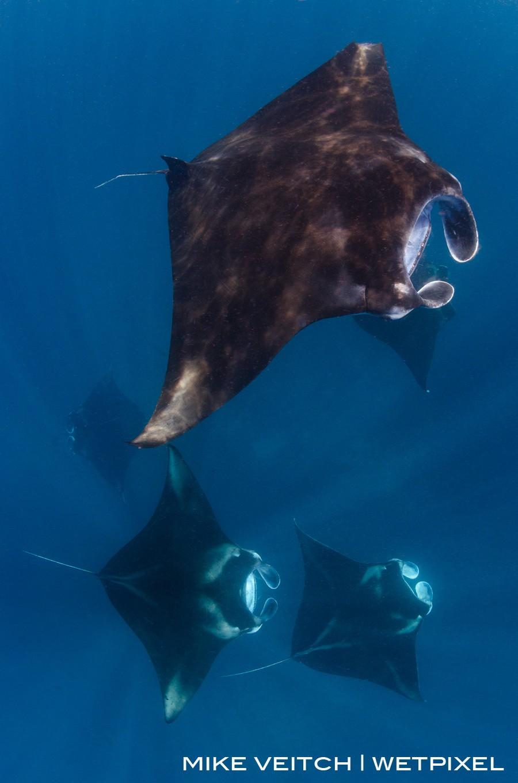 Reef manta rays, *Manta alfredi*, feeding at the surface, Raja Ampat, Indonesia