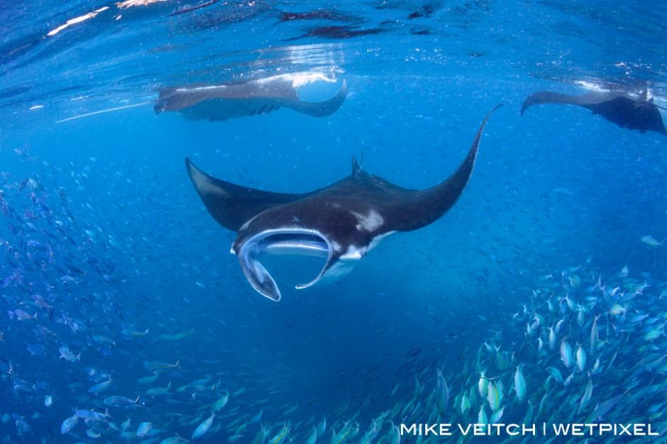 Reef manta rays, *Manta alfredi*, feeding on plankton at the surface, Raja Ampat, Indonesia