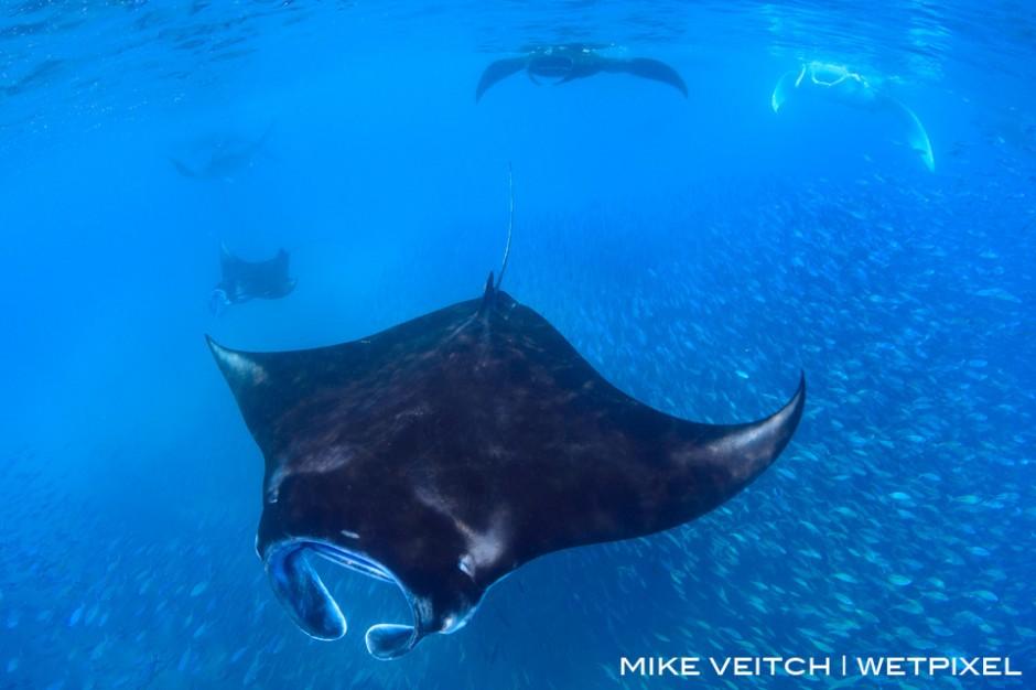 Reef manta rays, Manta alfredi, feeding at the surface, Manta Sandy, Raja Ampat, Indonesia