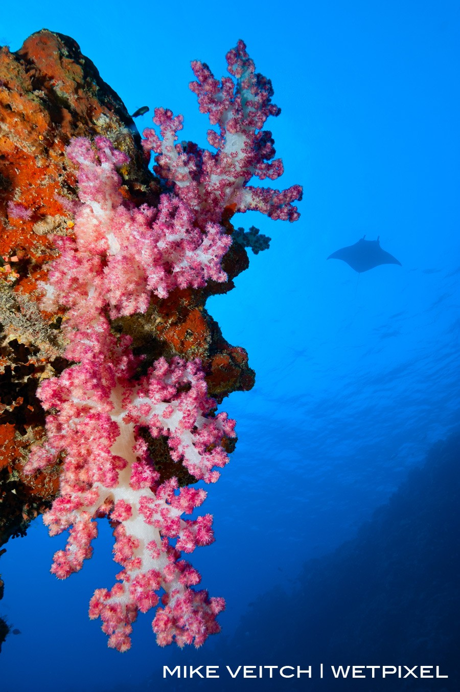 A bright pink soft coral lit up in the foreground with a manta silhoutted in the background, Miil Channel, Yap, Micronesia