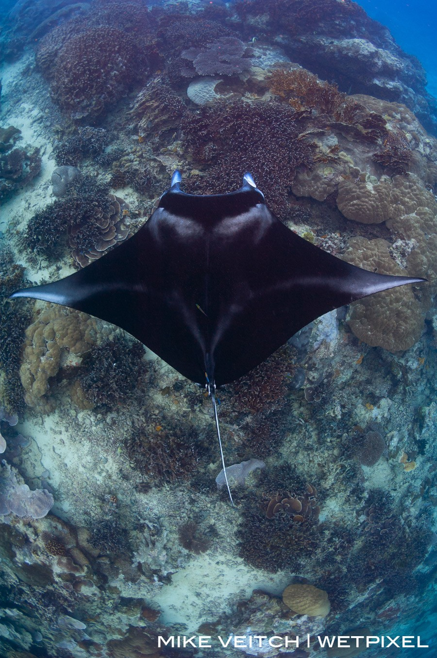 A reef manta ray, *Manta alfredi*, hovers above a cleaning station.  A keen eye can spot the cleaner fish around the tail.  Goofnuw Channel, Yap, Micronesia