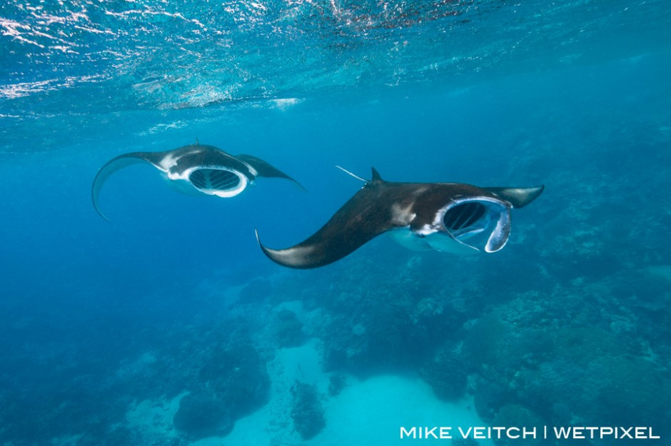 Two reef manta rays, *Manta alfredi*, feed at the surface in rough conditions, Goofnuw Channel, Yap, Micronesia