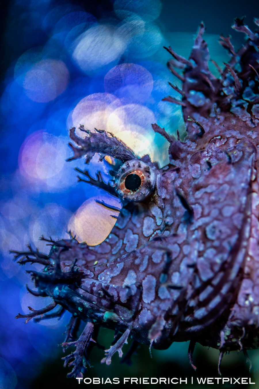 Profile shot of *Rhinopias frondosa* with a bubble bokeh backdrop