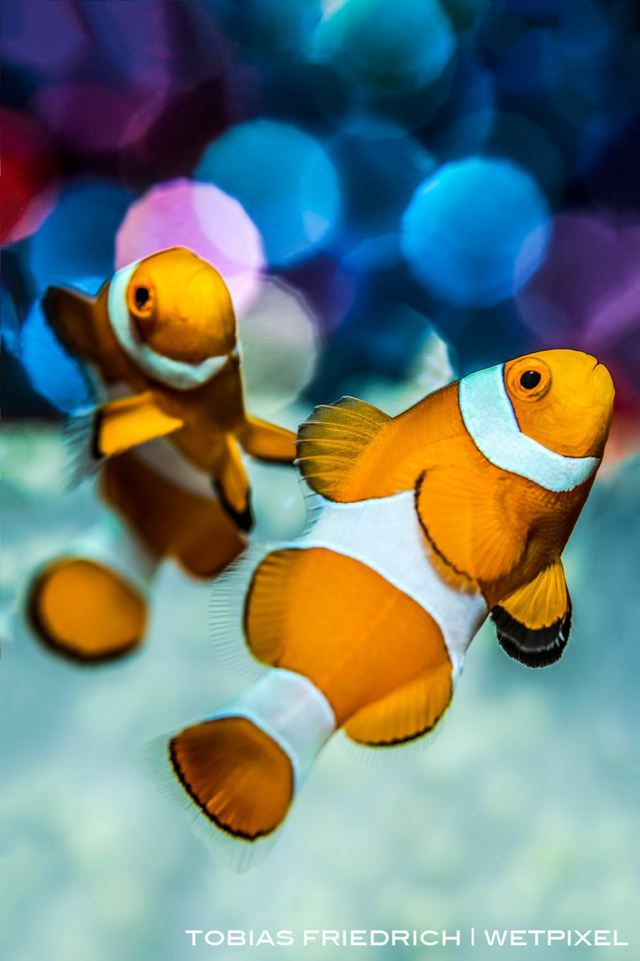 A pair of clownfish (*Amphiprion ocellaris*) with bubble bokeh background