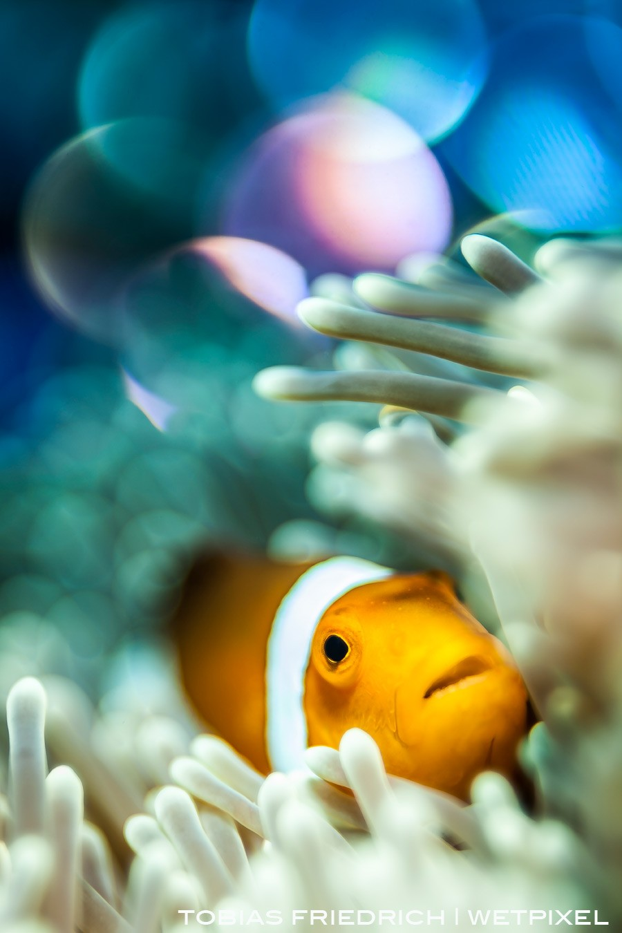 A clownfish (*Amphiprion ocellaris*) nestled in its host anemone with a bokeh background