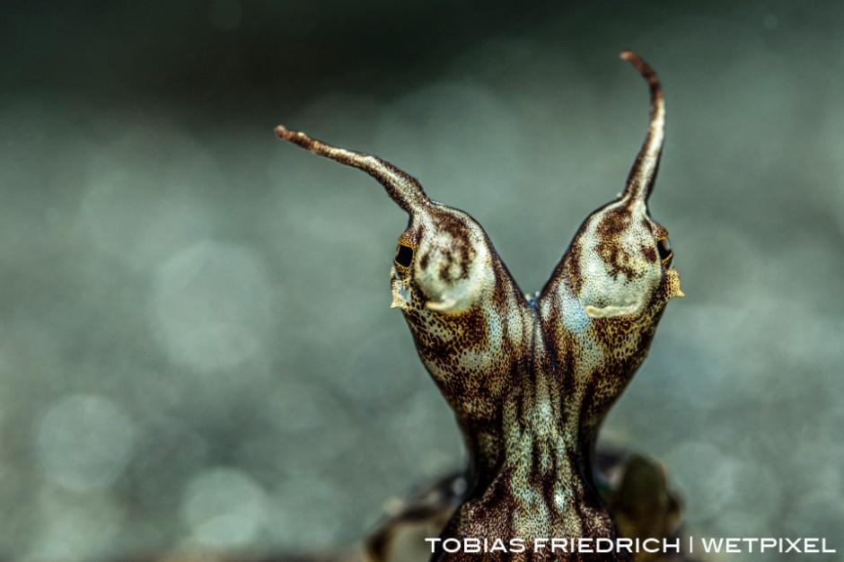 Wonderpus (*Wunderpus photogenicus*) photographed in Lembeh Strait, North Sulawesi, Indonesia