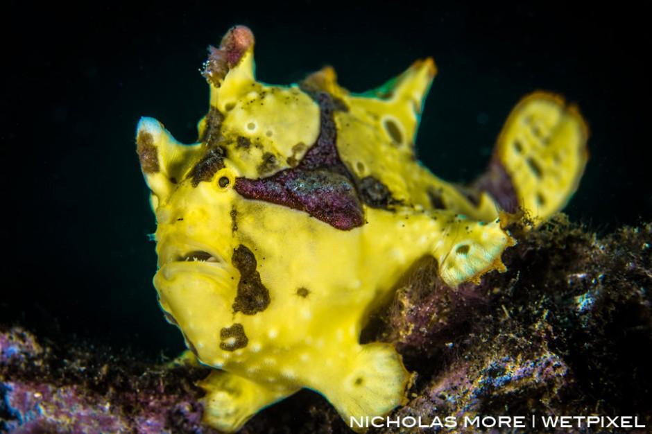 The warty frogfish or clown frogfish (*Antennarius maculatus*)