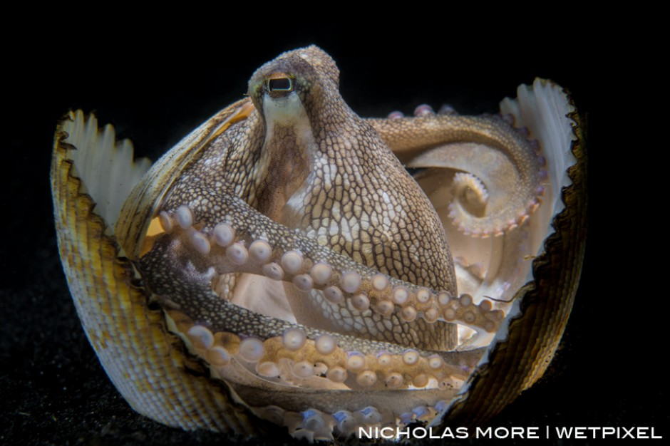 *Amphioctopus marginatus*, also known as the coconut octopus and veined octopus, hides in a discarded clam shell for protection.