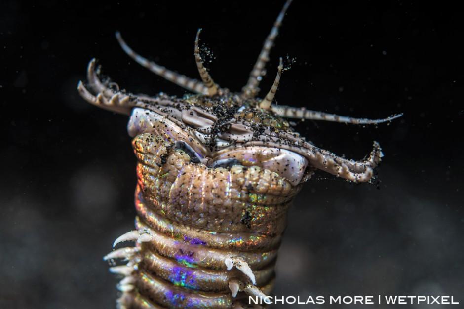 The Bobbit Worm (*Eunice aphroditois*)