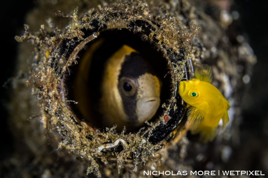 A yellow pygmy goby (*Lubricogobius exiguus*)  is evicted from his beer bottle home