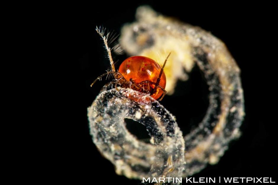 Freshwater mite