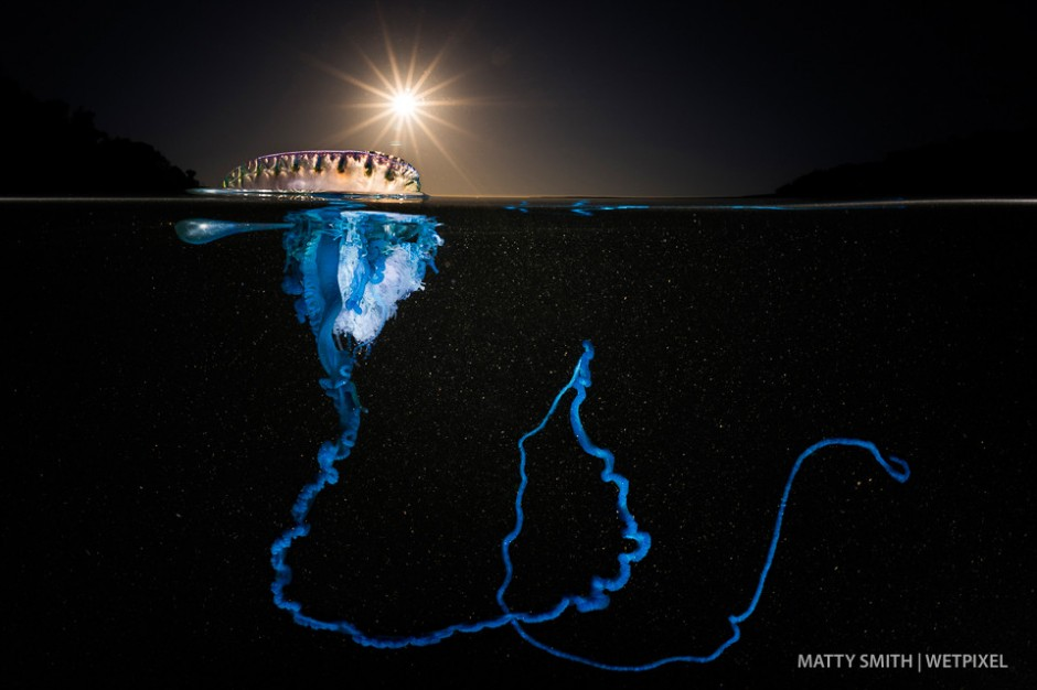 A bluebottle siphonophore (*Physalia utriculus*) at Bushrangers Bay, NSW, Australia at dawn.