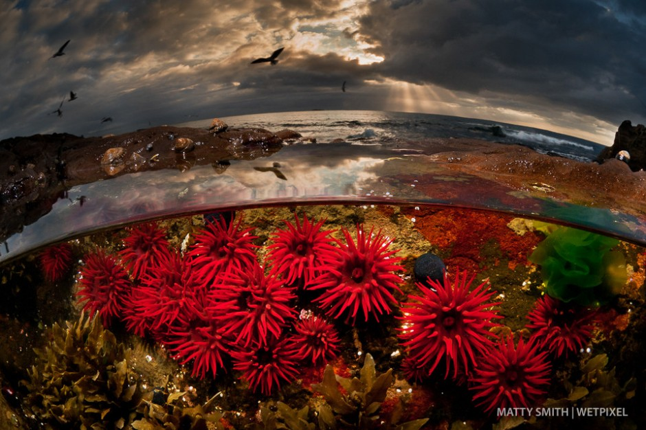 Waratah anemones in a low tide rock pool at Port Kembla, Australia.