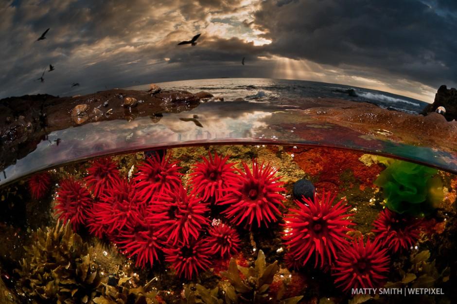 Waratah anemones in a low tide rock pool at Port Kembla, Australia.