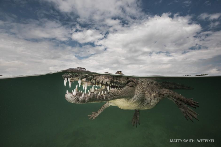 American crocodile (*Crocodylus acutus*) at the Gardens of the Queen (Jardines de la Reina), Cuba.