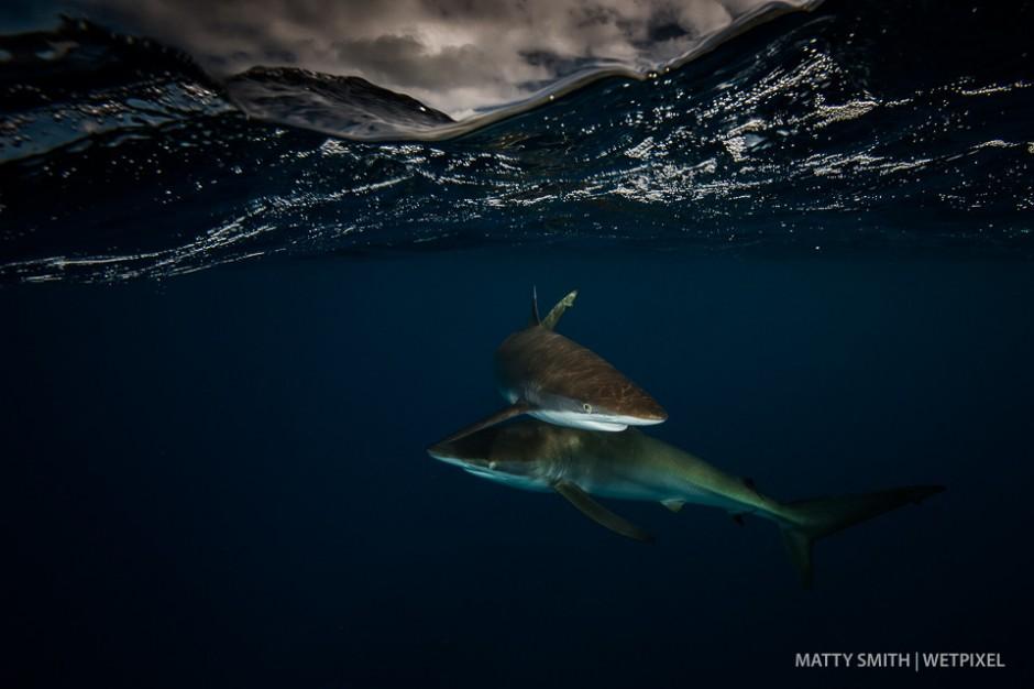 Silky sharks (*Carcharhinus falciformis*) at the Gardens of the Queen (Jardines de la Reina), Cuba.