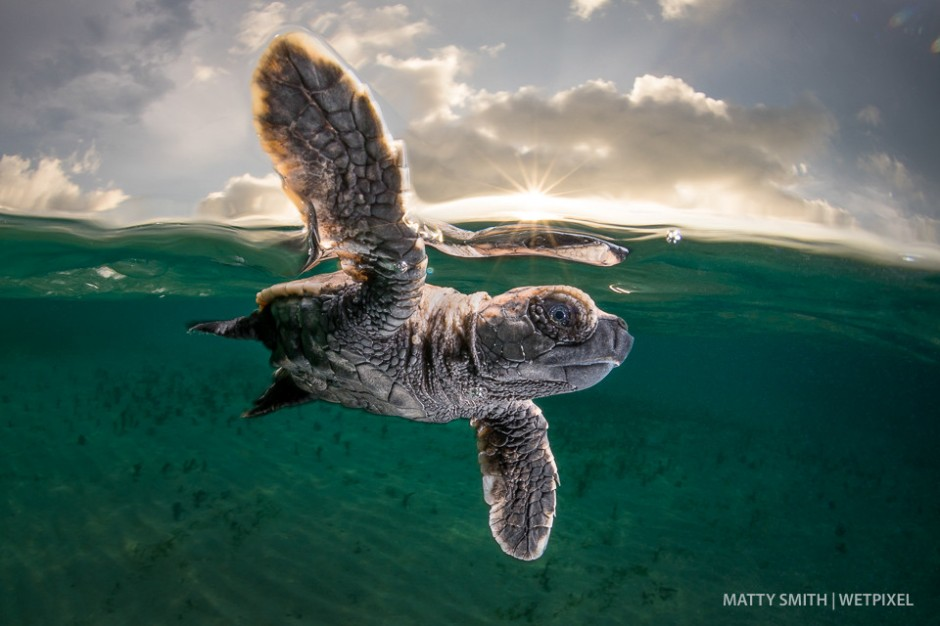 A hawksbill turtle hatchling (*Eretmochelys imbricata*) just 3cm long and a few minutes old takes it's first swim at Lissnenung Island, Papua New Guinea.