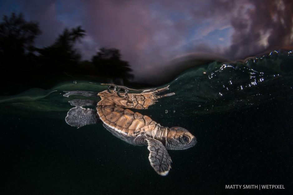 Hawksbill turtle hatchling  (*Eretmochelys imbricata*) at Lissnenung Island, Papua New Guinea.