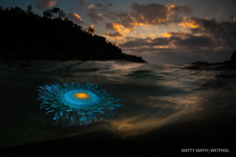 A blue button hydroid (*Porpita Porpita*) washes into shore at sunrise. Bushranger Bay NSW, Australia.