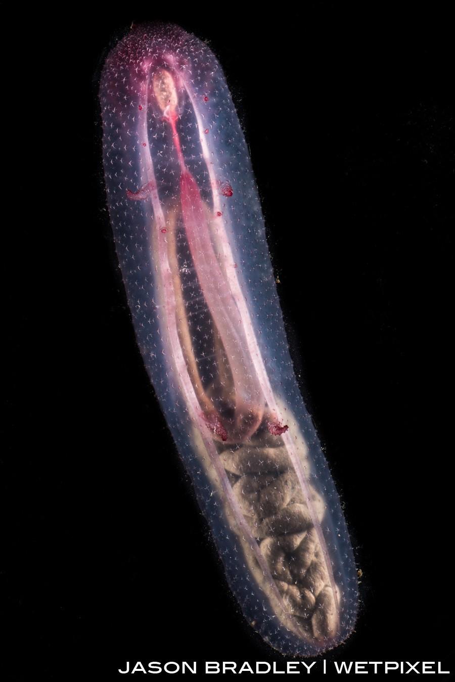 The a transluscent sea cucumber (*Holothuroidea*).
