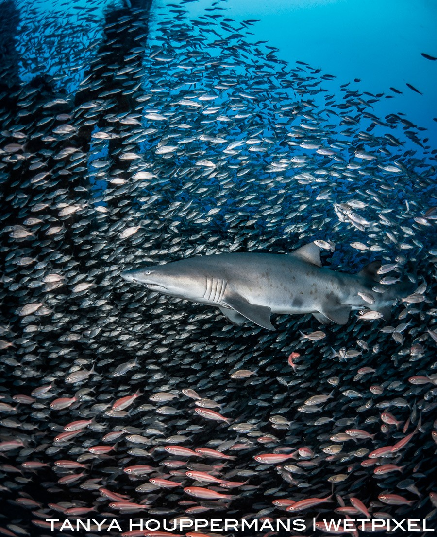 A sand tiger shark is surrounded by thousands of small fish near the conning tower of the wreck of the U-352. Location: Morehead City, North Carolina USA