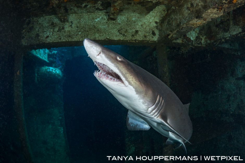North Carolina is one of very few places in the world where it is common to find sharks inside of shipwrecks. In this image, a sand tiger shark swims through the wreck of the USCGC Spar.