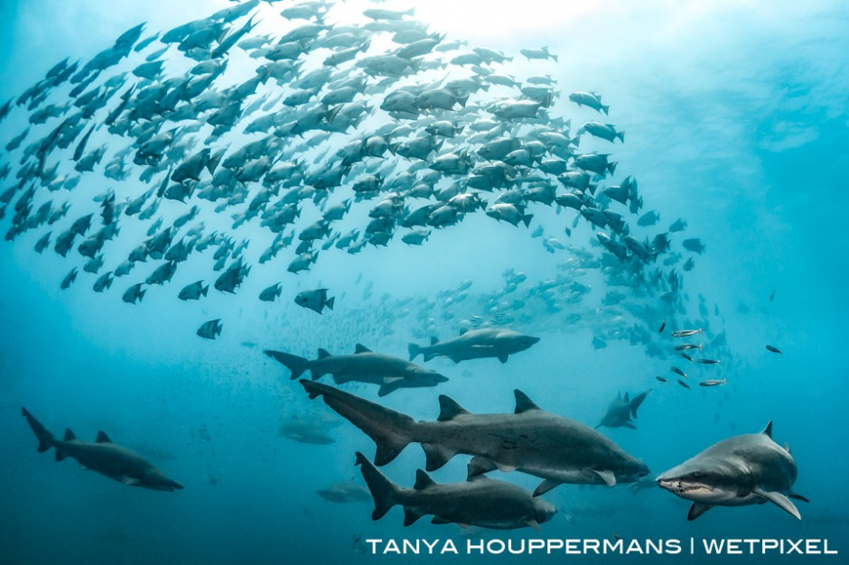 Spade fish swirl around a group of sand tigers above the wreck of the Caribsea. Location: Morehead City, North Carolina, USA