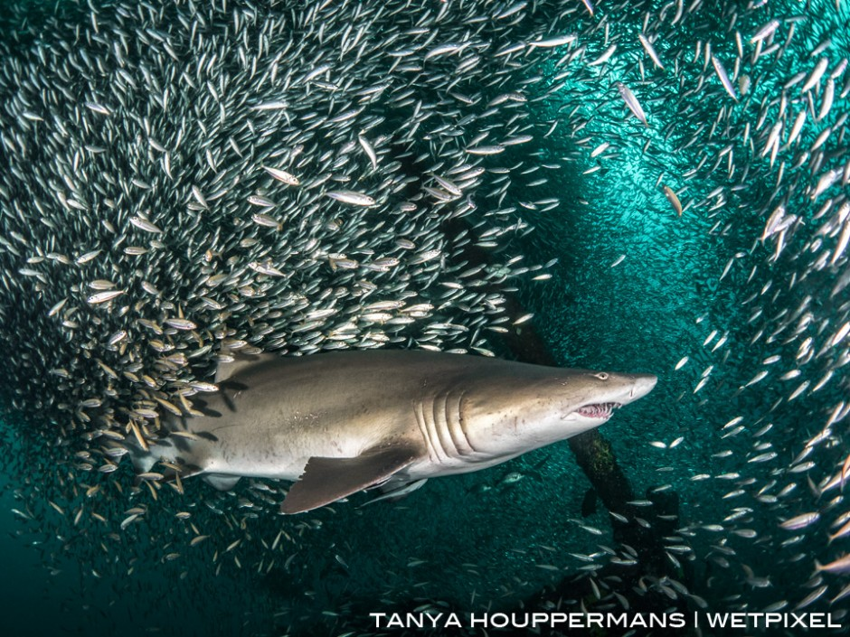 The shipwrecks of North Carolina lie near the Gulf Stream, resulting in warm, clear water and an abundance of marine life. Here a sand tiger shark is surrounded by bait fish as it swims past the top of the wreck of the Caribsea.