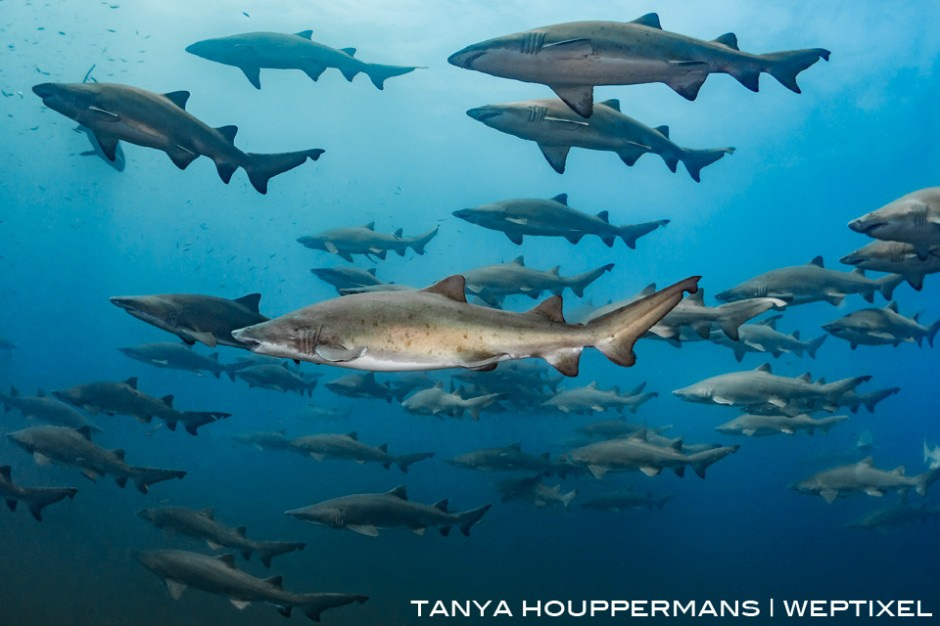 Around mid-summer every year, sand tiger sharks by the dozens congregate near the shipwrecks off the coast of North Carolina, in this case the wreck of the Caribsea. Location: Morehead City, North Carolina, USA