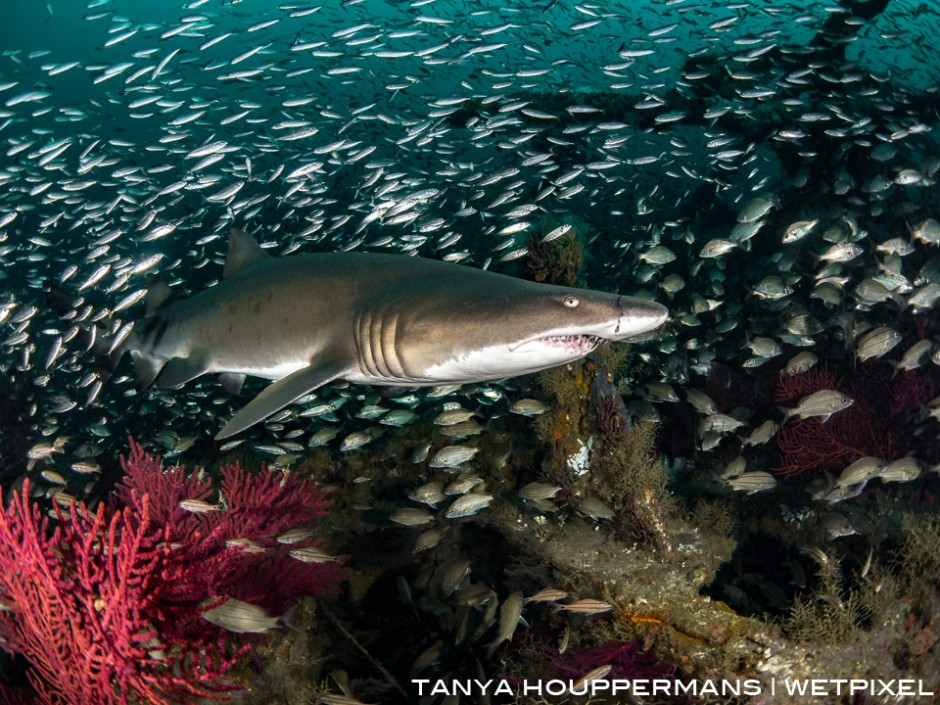 A sand tiger swims over the wreck of the Atlas, a tanker sunk 23 miles off the North Carolina in 1942 by the German U-552. Location: Morehead City, North Carolina USA