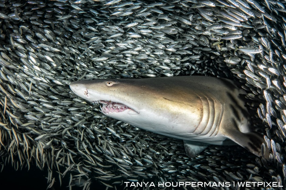 The fish were so numerous in this bait ball that they nearly blocked out all of the ambient light, giving the appearance of a dark background as this sand tiger slowly swam past.