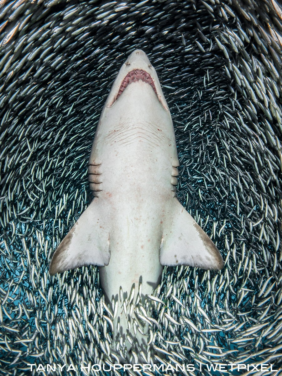 This image was captured by swimming underneath the sand tiger, shooting upward as she swam through the millions of tiny bait fish above the wreck of the Caribsea.