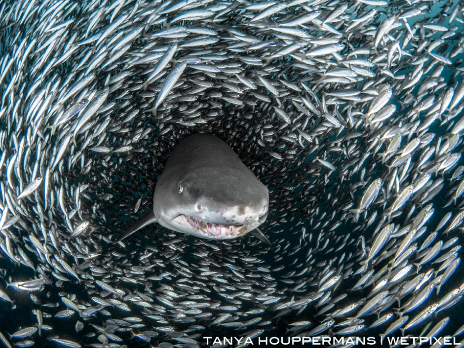 A sand tiger appears to emerge from a tunnel inside of a massive bait ball. Location: Wreck of the Caribsea, Morehead City, North Carolina USA